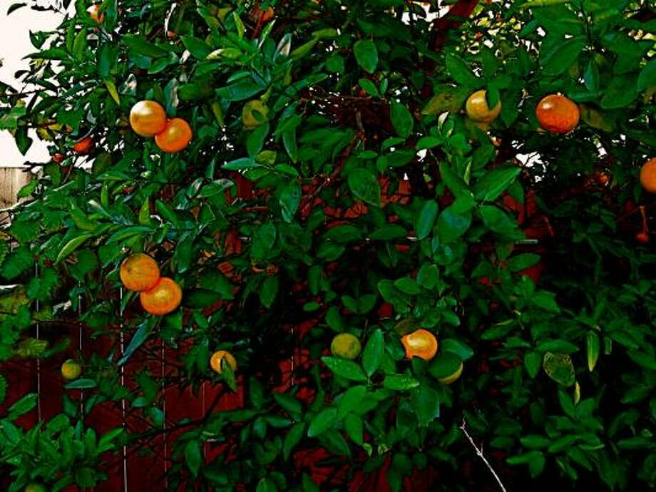 Mandarins aka tangerines top low care plant list for Low care garden plants