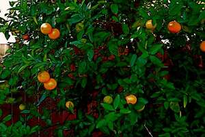 NOVEMBER BOUNTY: Honey mandarins are delicious additions to the early November food supply.