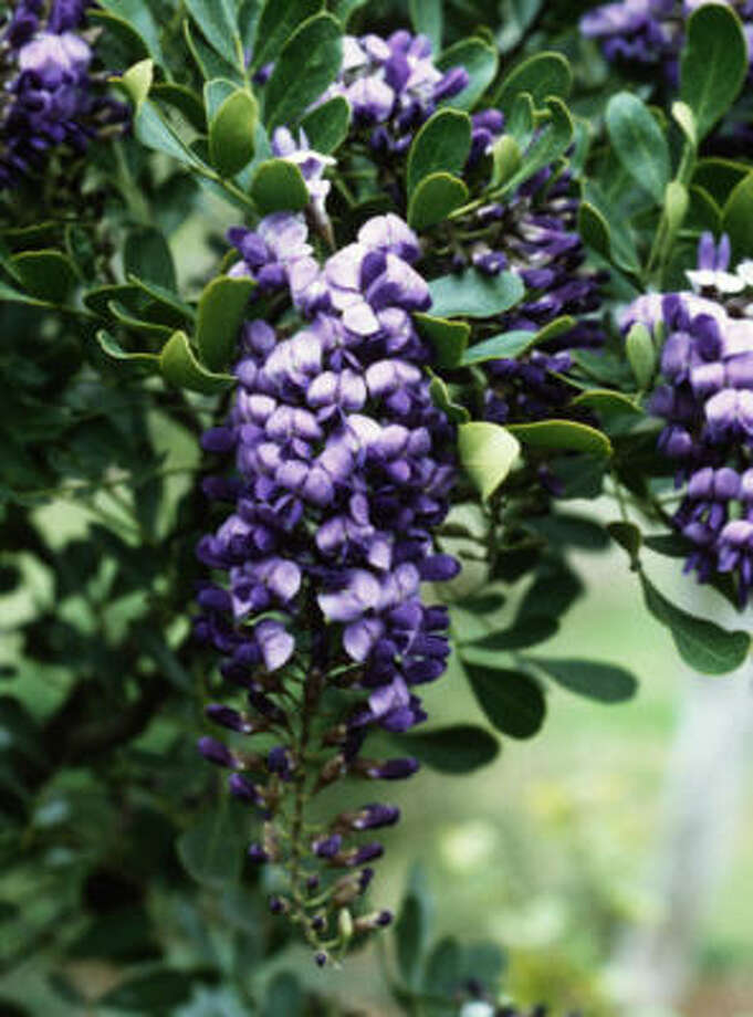 The Texas mountain laurel needs good drainage. Photo: TREESEARCH FARMS