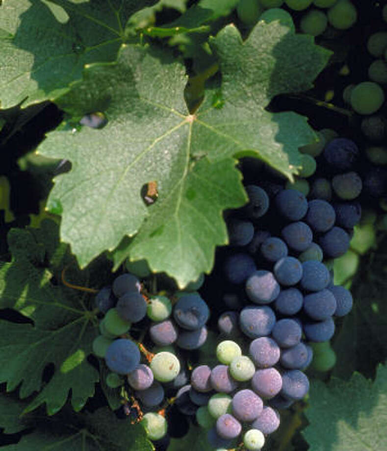 The Texas High Plains' long, warm days with contrasting cool nights helps grapes develop needed acid and structure Photo: MCT