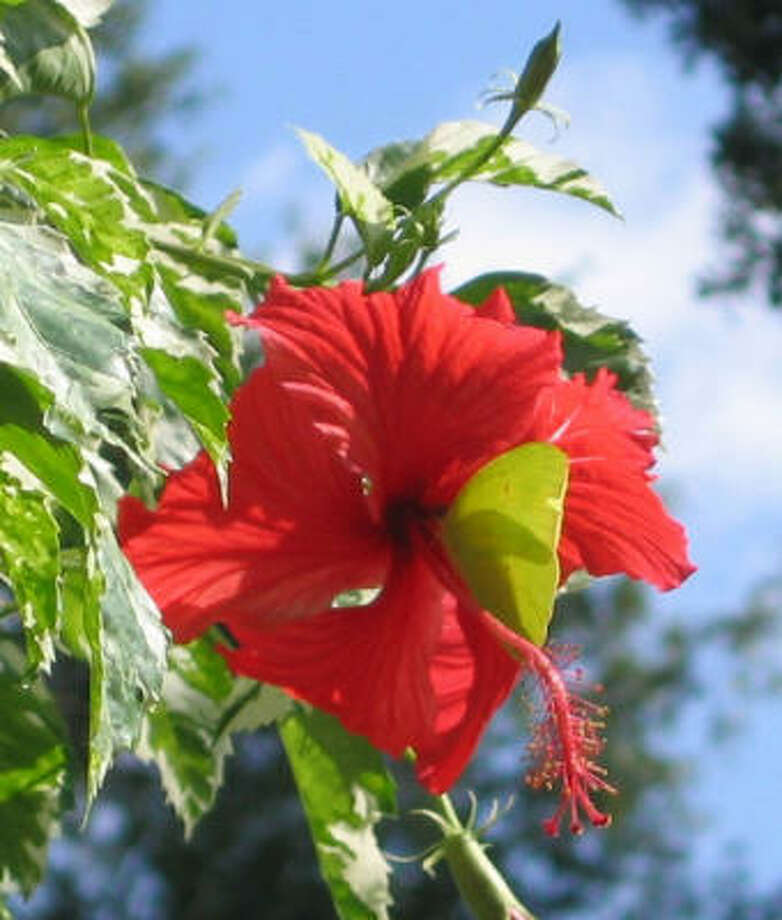 Hibiscus Photo: Brenda Beust Smith, For The Chronicle