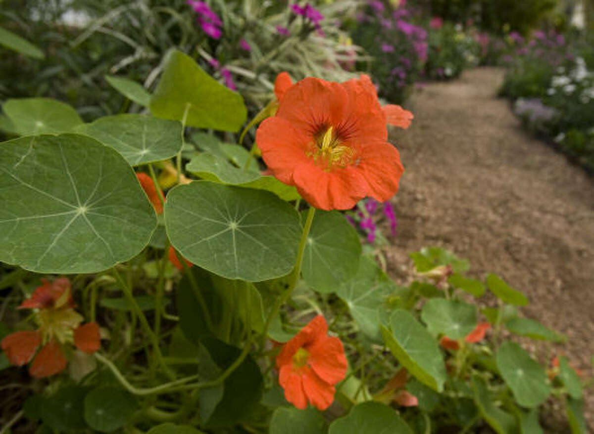 October is the perfect time to plant nasturtium, a cool-season annual.