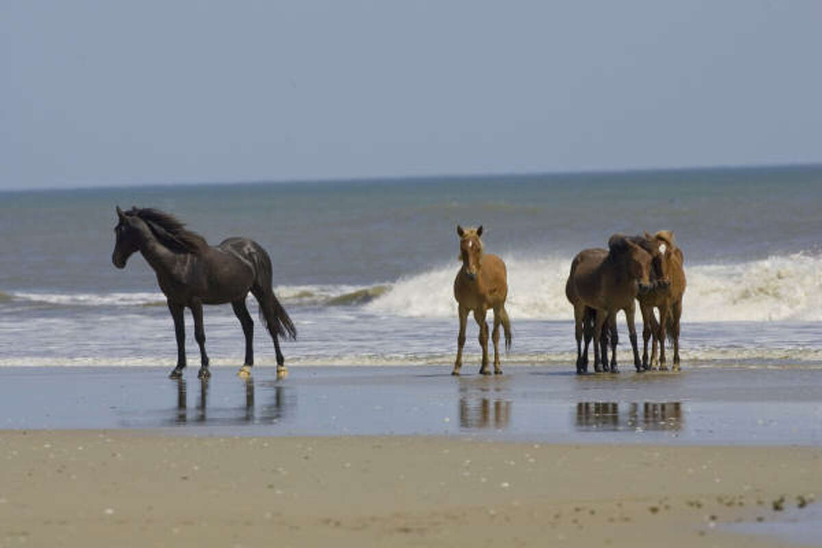 Wild mustangs roam the beaches of the Currituck Outer Banks. The only way to reach them is on a tour or with a four-wheel drive vehicle.