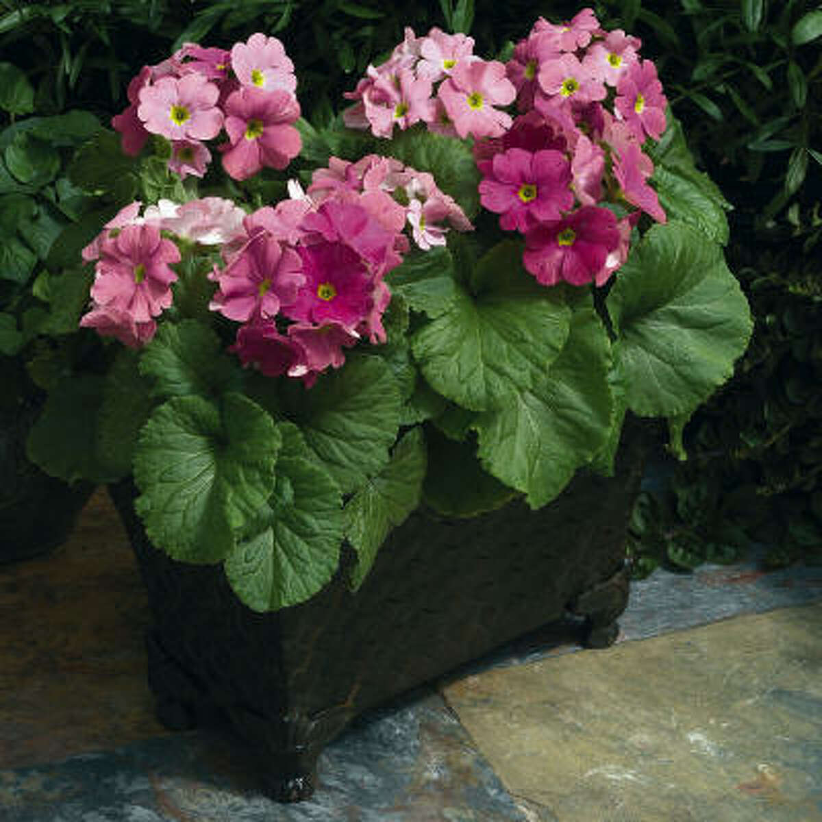 Primula obconica, or German primrose, will flower late fall through spring in part sun or bright shade.