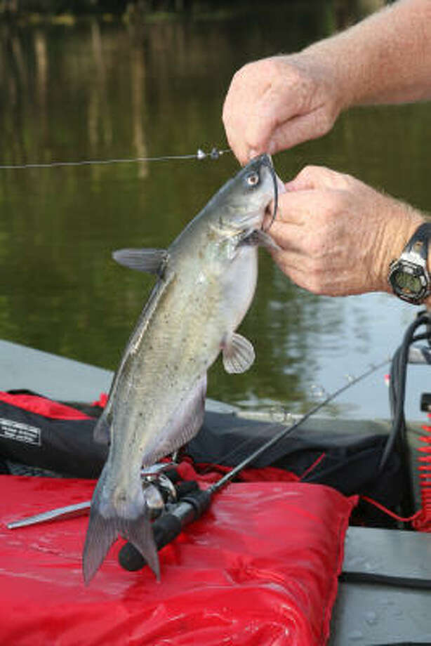 When treadfin shad move shallow to spawn along Lake Conroe bulkheads, catfish follow the food. A shiner or wad of nightcrawlers fished under a cork can produce steady action during  May or early June. Photo: Shannon Tompkins, Houston Chronicle