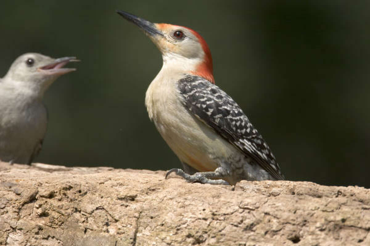 Adult birds, like this red-bellied woodpecker, teach their young where to find food in area backyards.