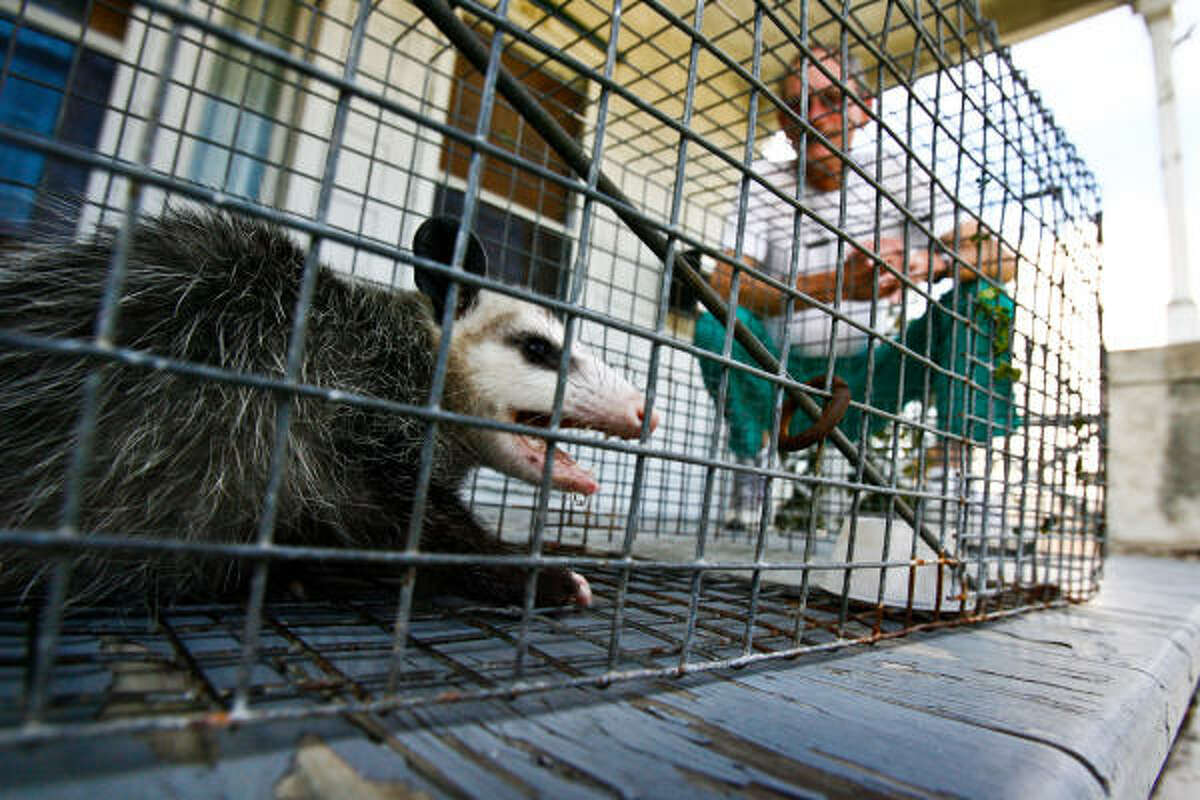 Scott Harbers on the porch of his Midtown home on Tuesday with the opossum he trapped in his backyard.