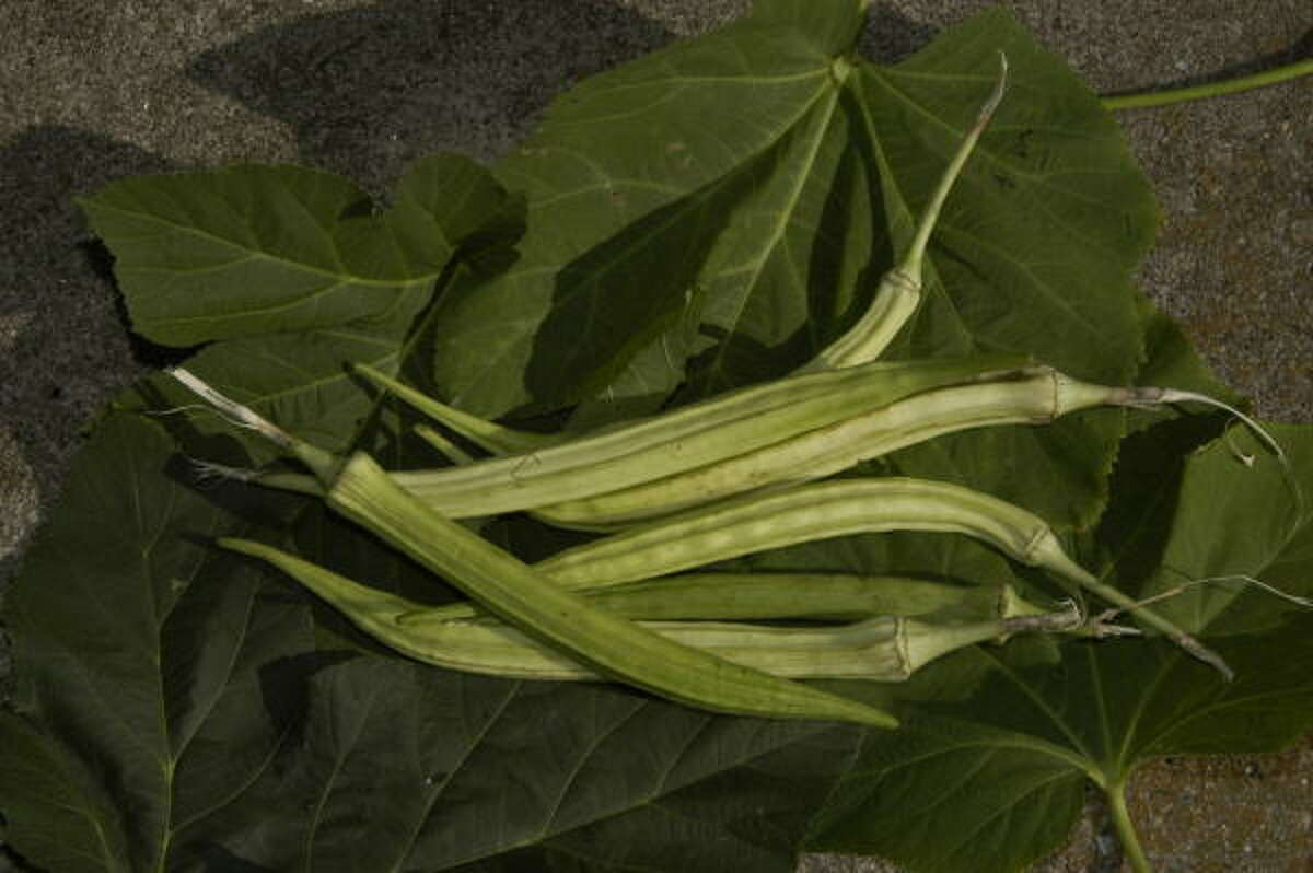 The fruit of the okra plant.
