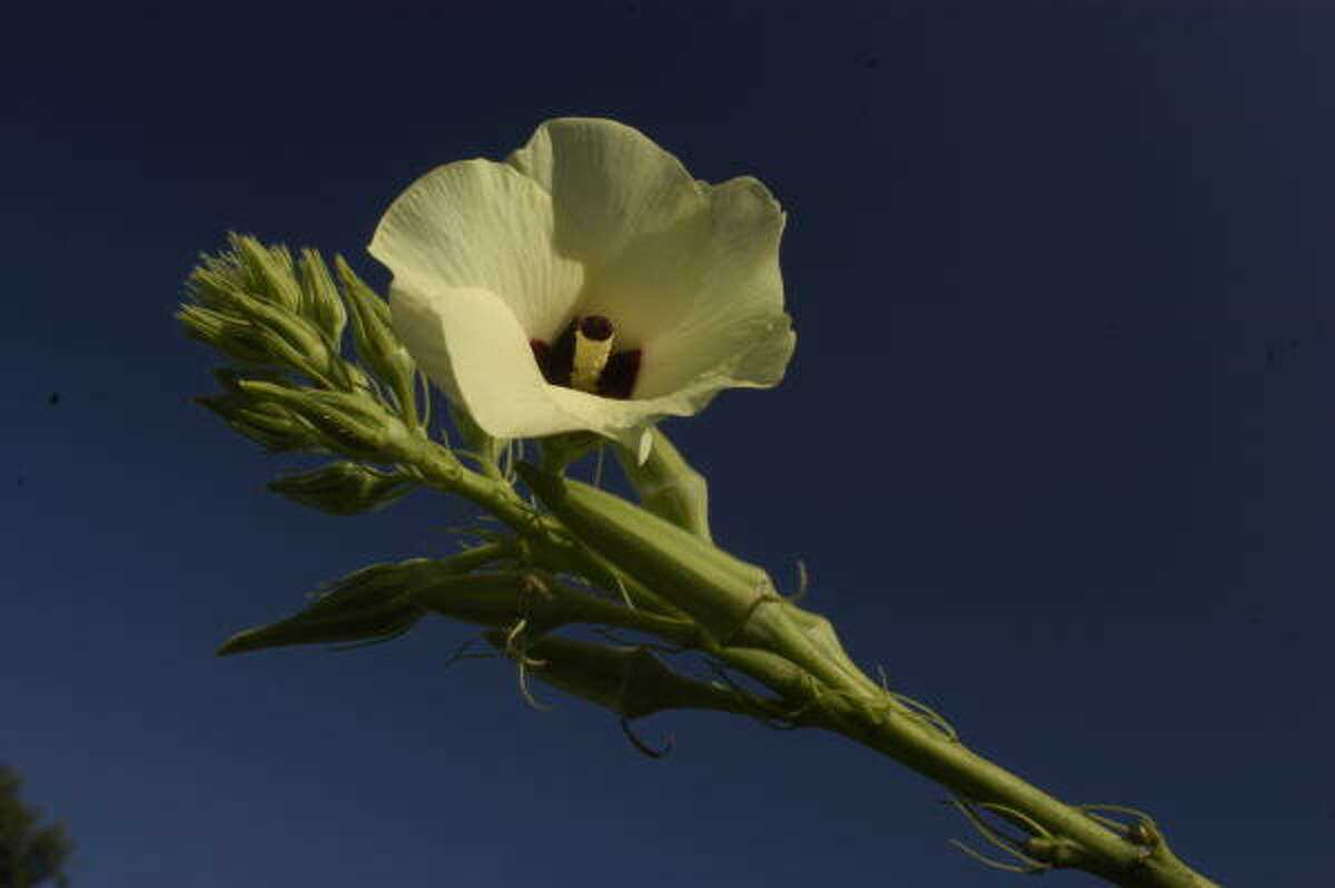 The yellow flower bloom high on the okra plant.