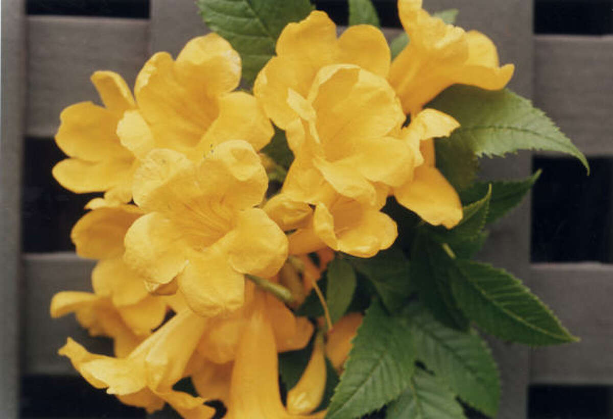 The funnel-shaped blooms of yellow bells, or esperanza, (Tecoma stans) are brilliant in the Texas sun.
