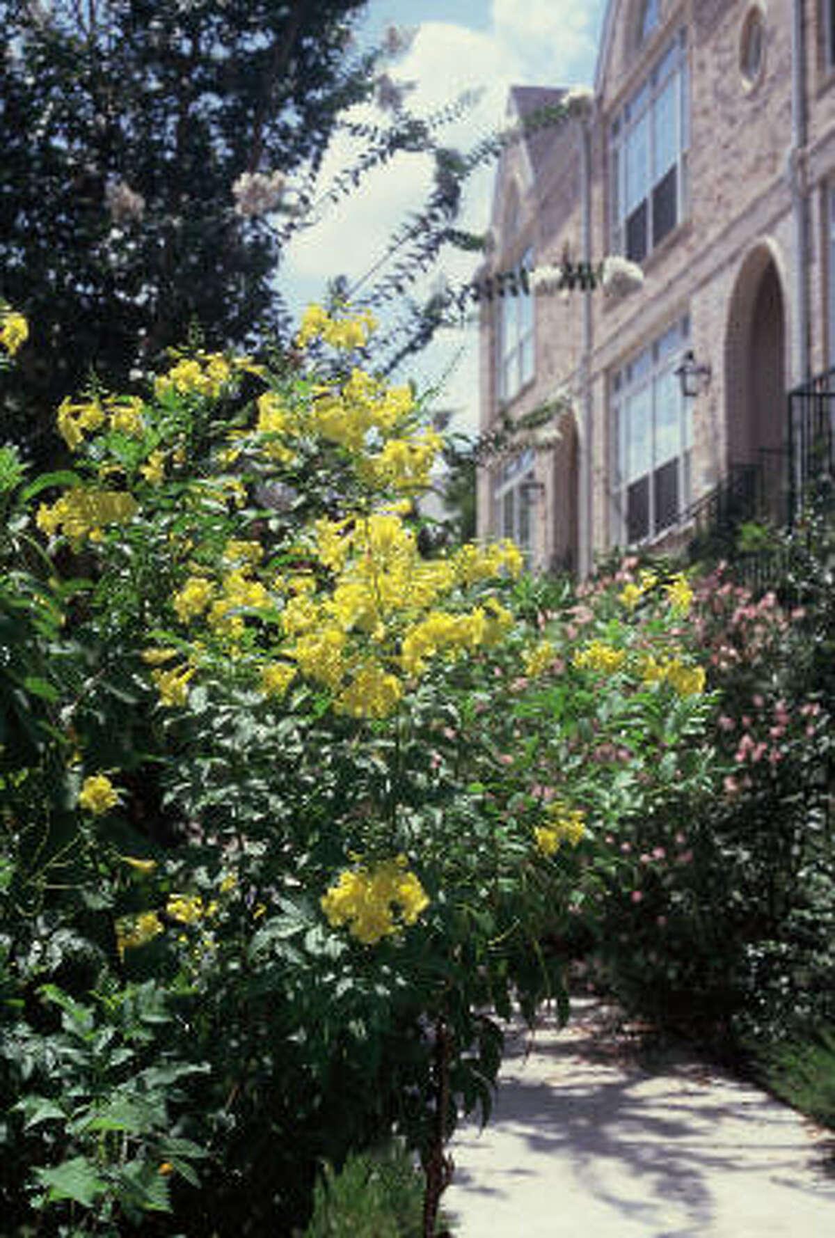 Esperanza (Tecoma stans), can grow into a shrub or small tree.