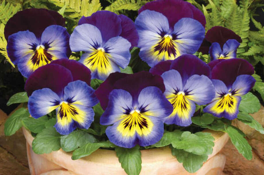 A World Of Pansies At Your Feet Houston Chronicle