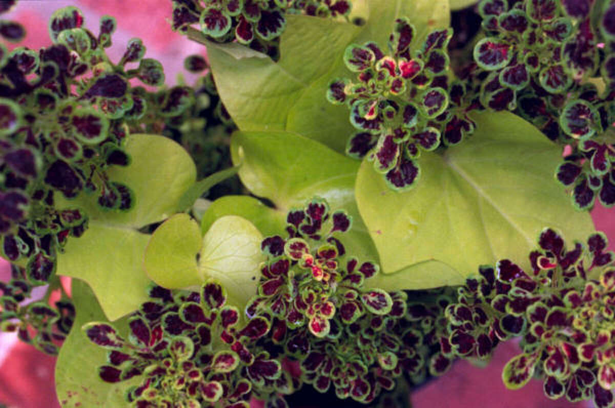 The chartreuse leaves of ''Marguerite'' sweet potato pair nicely with ''Midnight,'' a duckfoot coleus.