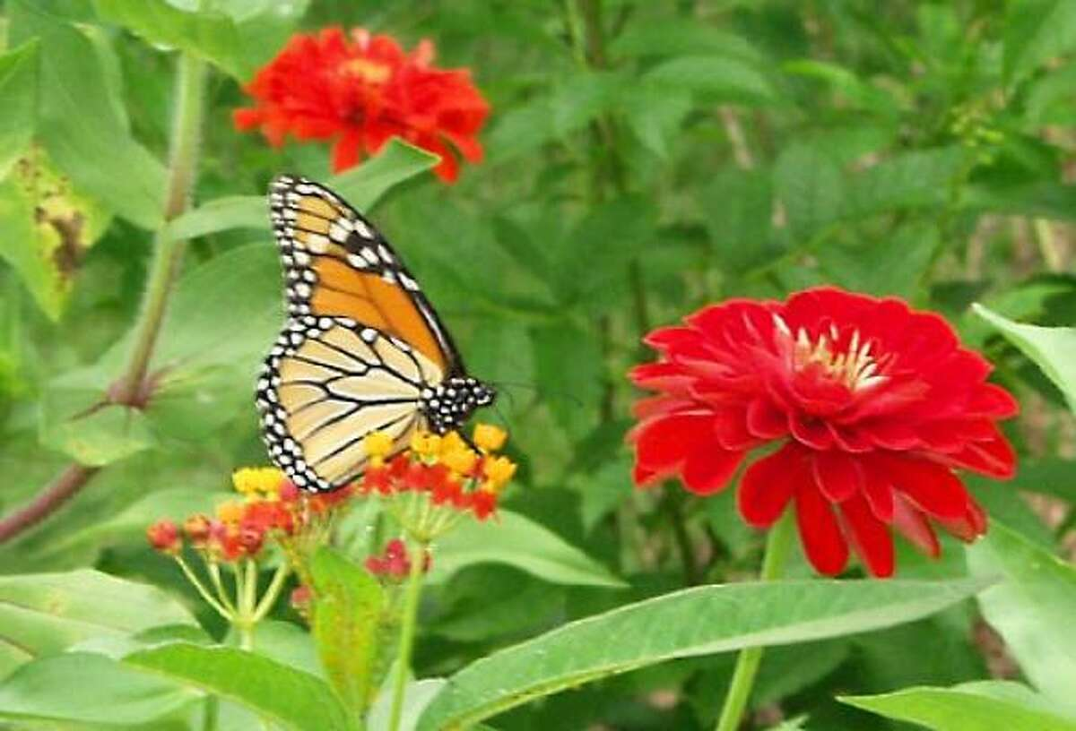 A monarch rests on a butterfly weed with zinnias in the background.