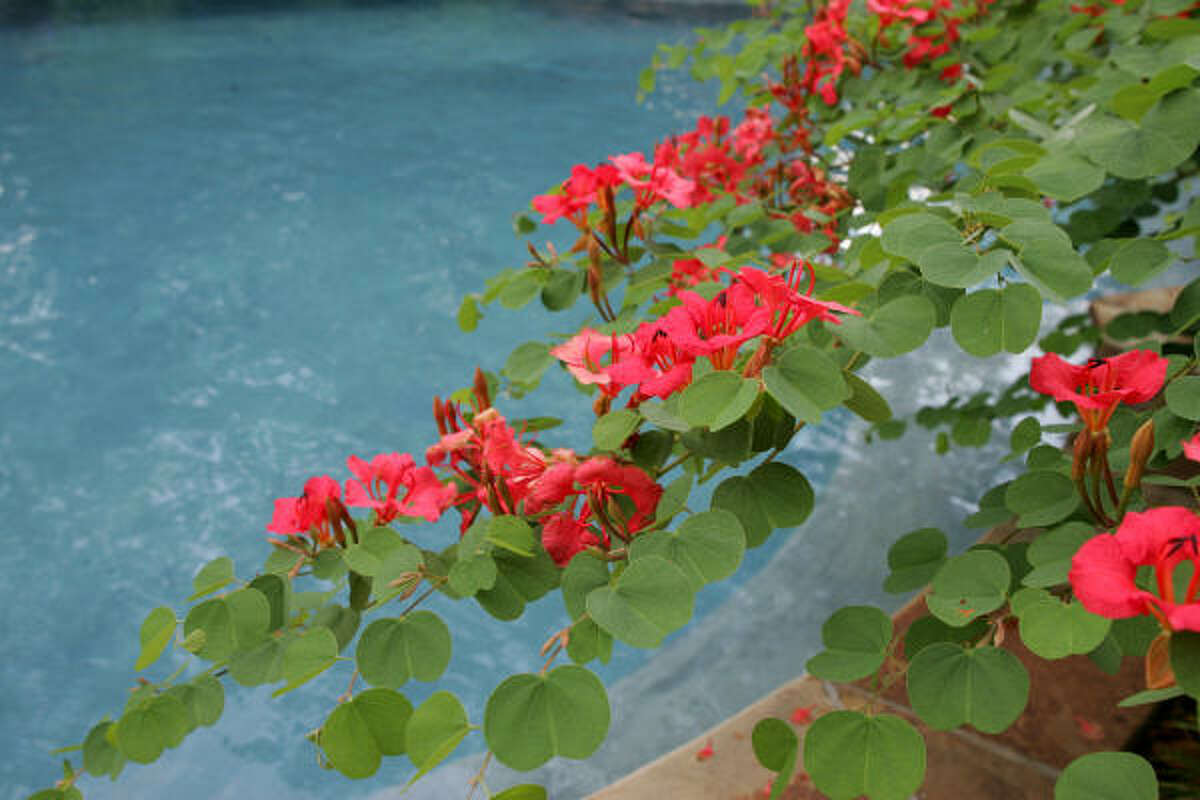 Orange bauhinias sweep out over this Spring pool.