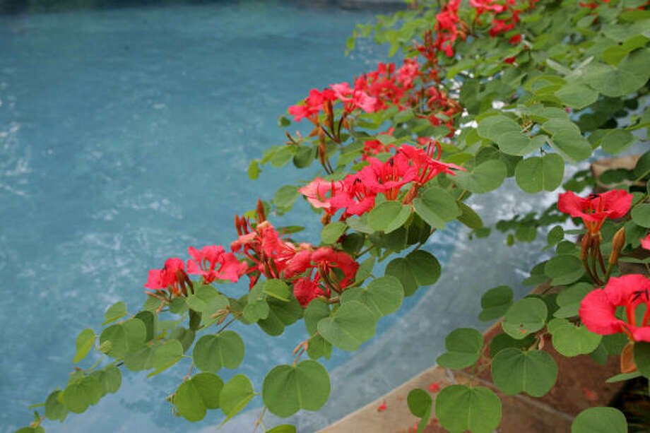 Orange bauhinias sweep out over this Spring pool. Photo: BRUCE BENNETT, FOR THE CHRONICLE