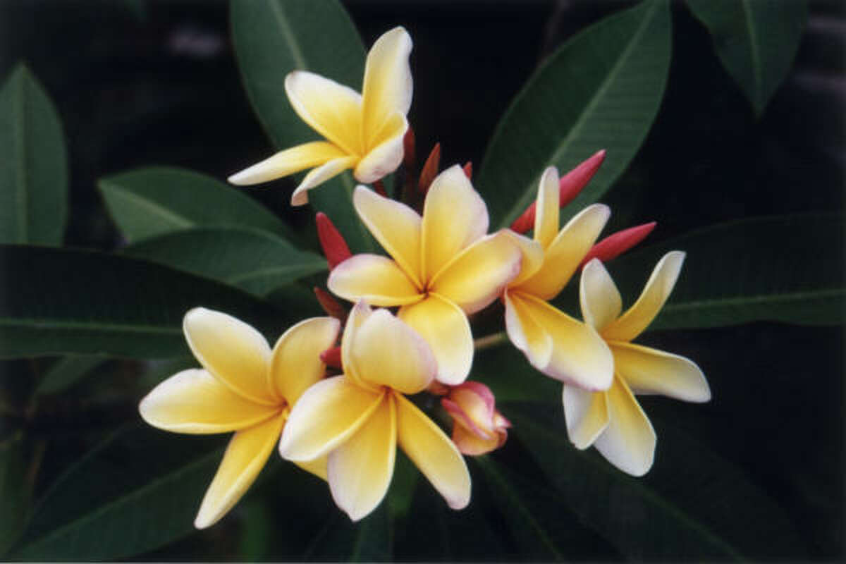 'Aztec Gold' plumeria flowers early and blooms all summer. It's a top producer and one of the best for beginners.