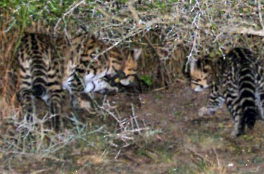 A trip camera on the Laguna Atascosa National Wildlife Refuge snapped this picture of Esperanza, a young female ocelot, and her kitten late last month. Photo: U.S. FISH AND WILDLIFE SERVICE