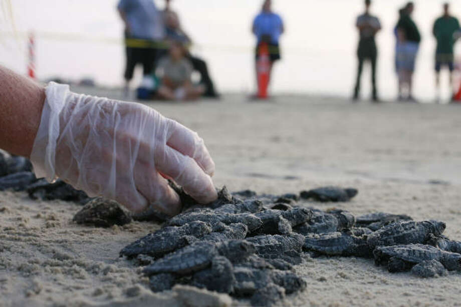 Conservationists such as Donna Shaver, chief of the National Park Service's Division of Sea Turtle Science and Recovery, are expecting Kemp's ridley sea turtles to return to Texas nesting sites in the next few months despite the damage to some beaches caused by Hurricane Ike. She is shown here releasing hatchlings for their foray to the waters of the Gulf. Photo: James Nielsen, Chronicle