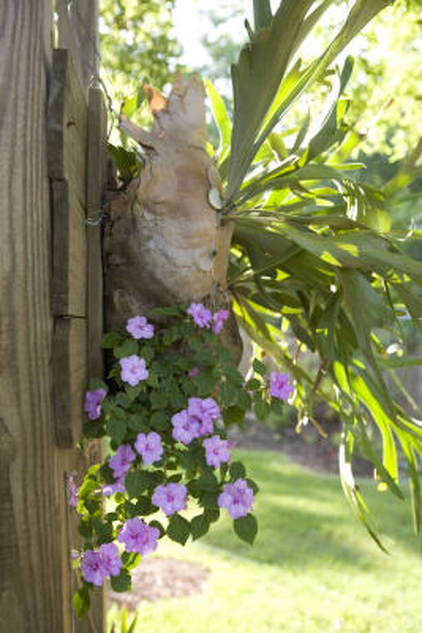 Impatiens hanging underneath a staghorn fern Photo: Jill Hunter, For The Chronicle