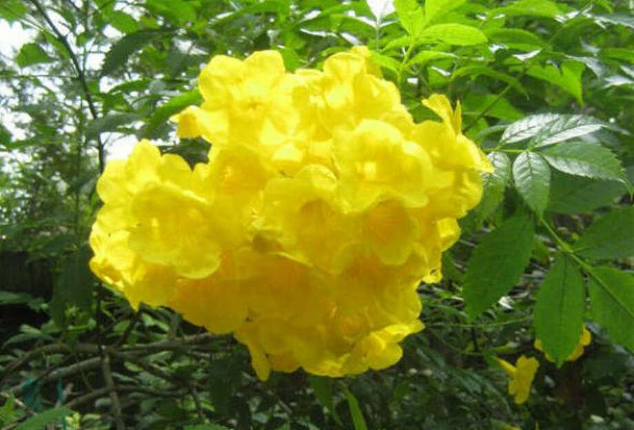 Why wont my esperanza bloom houston chronicle yellow bells esperanza photo kathy huber chronicle mightylinksfo