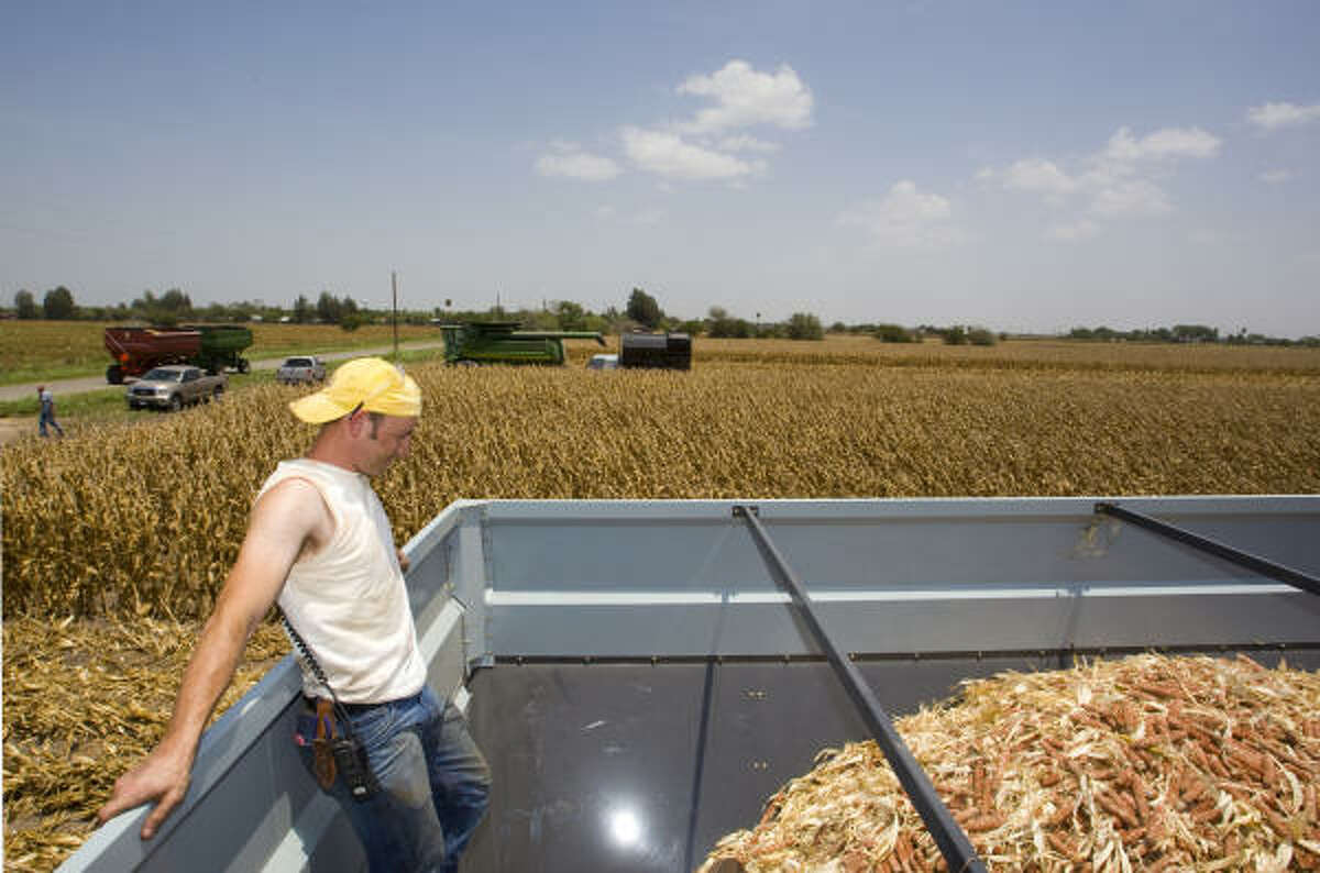 Salton Willems helps gather corncobs left from harvest Wednesday in Santa Rosa, near Harlingen. The cobs, already stripped of kernels, are used for conversion into ethanol.