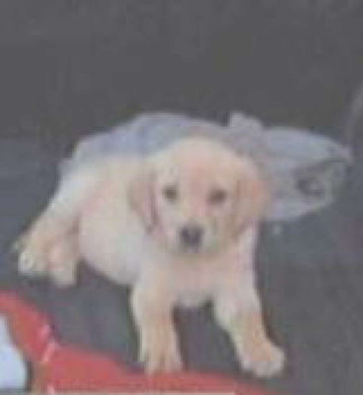 Dasy, a Lab, was shot April 1 at age 4.