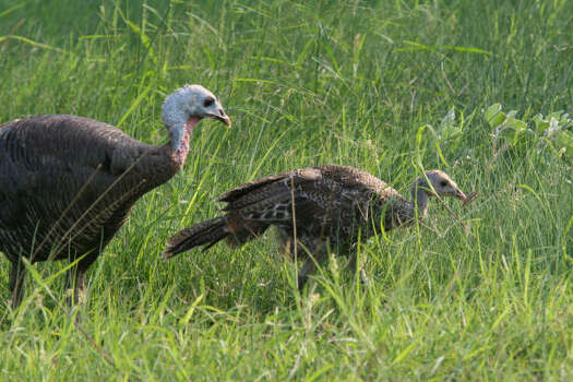 Eastern TurkeySpring-only season: East Texas: April 15-May 14, 2015 Photo: Shannon Tompkins, Houston Chronicle