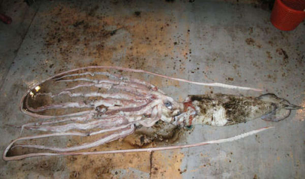 The squid caught in the Gulf of Mexico was 20 feet long. The species can grow as long as twice that.