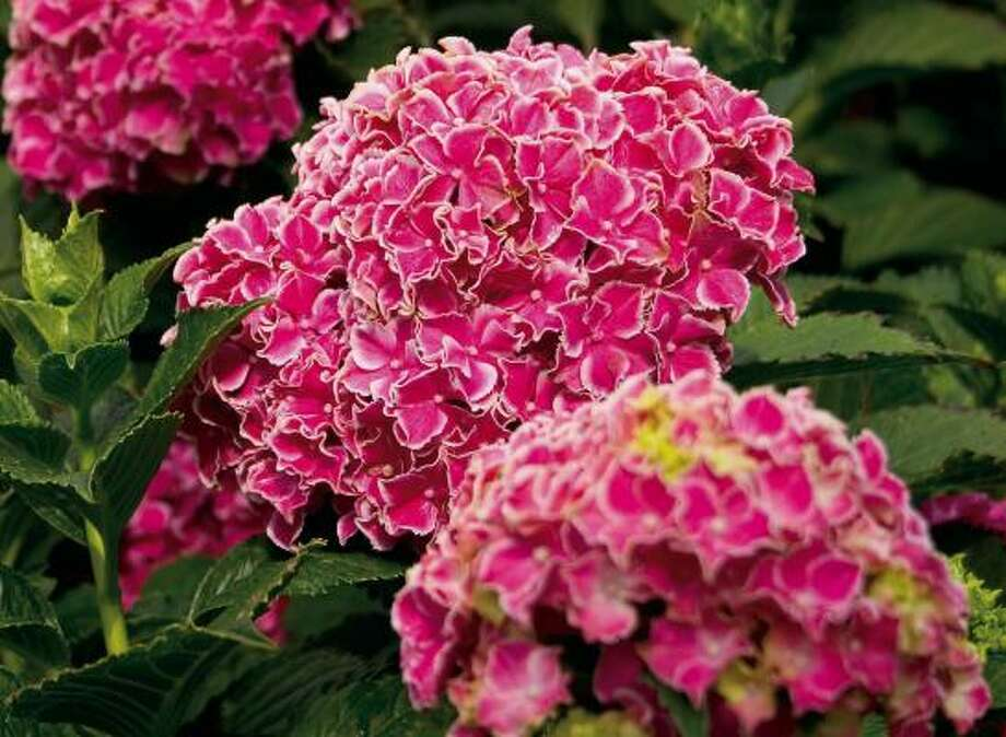 'Angel Star' hydrangea Photo: Hines Horticulture