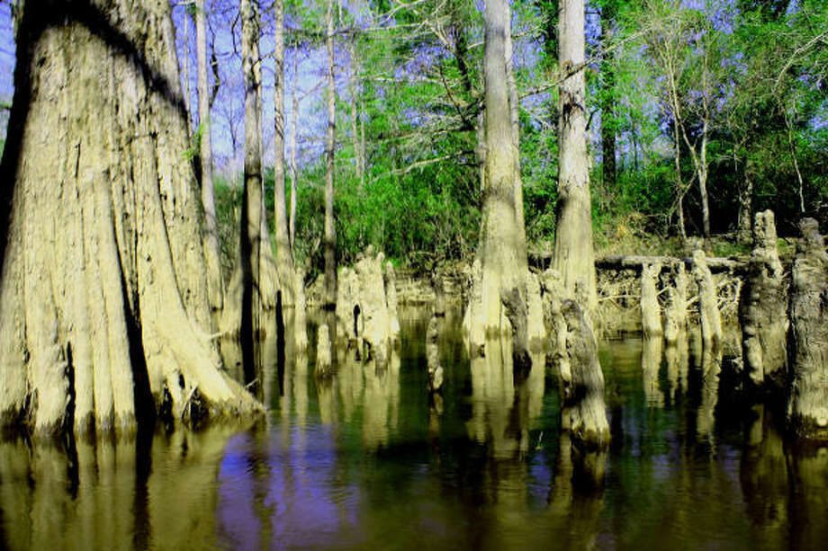 The Big Thicket was the country's first national preserve. Photo: TRACY L. BARNETT, Chronicle