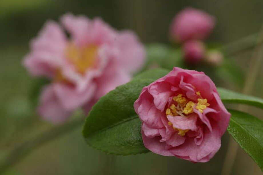 Fragrant pink camellia at Bayou Bend. Photo: John Everett, Chronicle