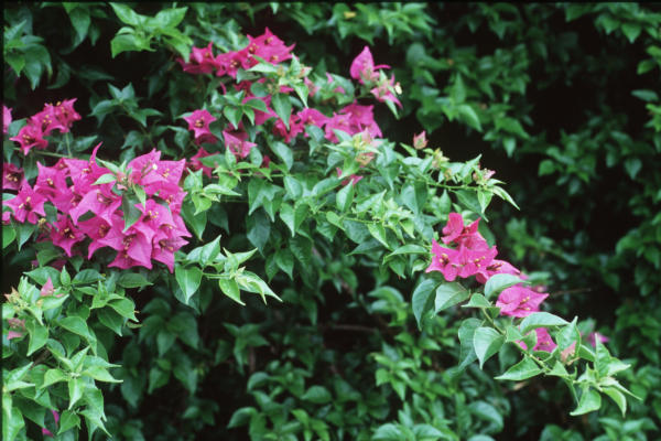 Bougainvillea 101 Most Asked Questions Houston Chronicle