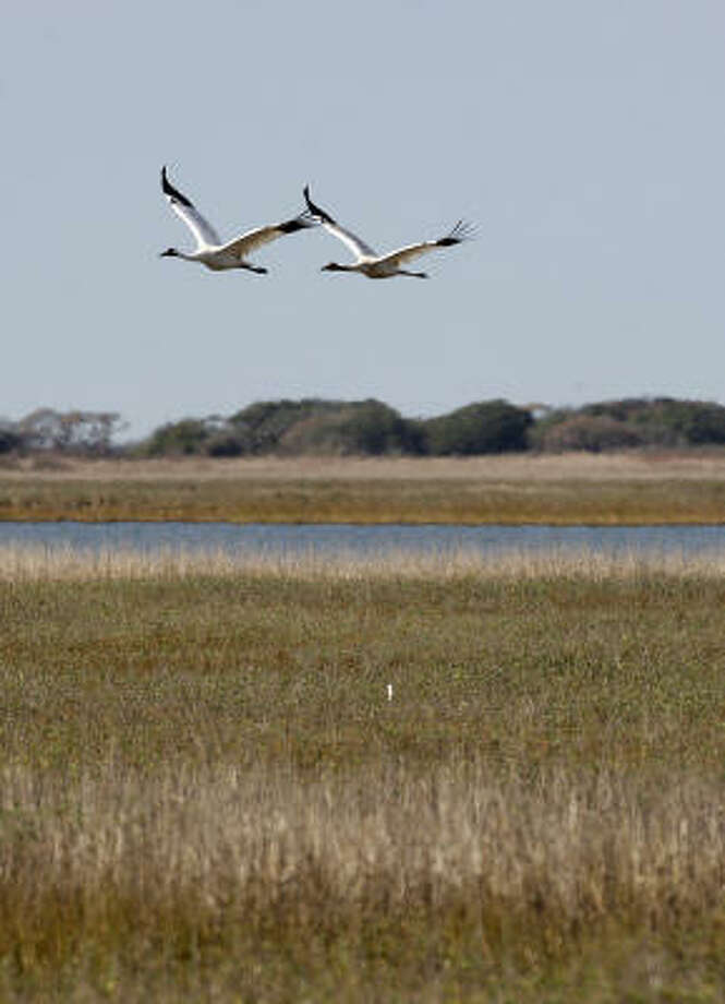 Two whooping cranes fly over the grassland of the Aransas National Wildlife Refuge in December 2008. Last winter was a difficult one for the cranes. Photo: JERRY LARA, San Antonio Express-News