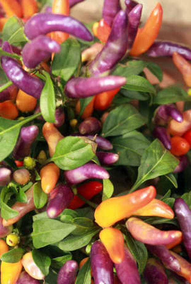 Ornamental peppers make festive fall pots. Photo: Gary Fountain, For The Chronicle