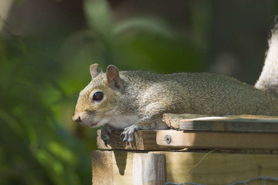 The eastern gray squirrel might drive us crazy but it can melt the heart of out-of-town visitors. Photo: Kathy Adams Clark