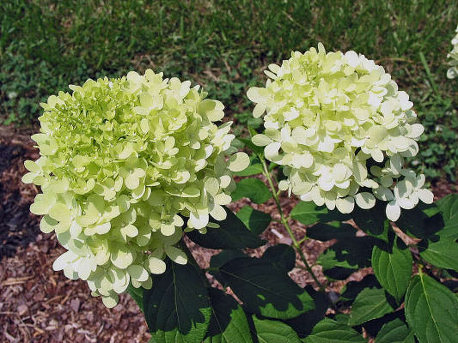 The Limelight hydrangea has an extended season of incredible blooms from mid-summer through fall. Photo: MCT