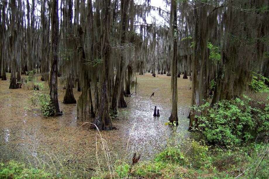 Once a haven for wintering waterfowl as well as a productive fishery, the vibrant ecosystem of a 400-acre area in the Angelina River bottoms was destroyed by a smothering mat of giant salvinia. Photo: JIM KENNETT, BLOOMBERG NEWS