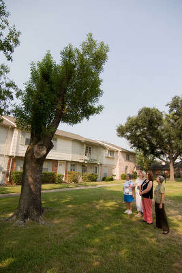 TREE HUGGING: Some homeowners in the Crown Colony West subdivision say that several trees in the subdivision have been improperly pruned or cut back in recent months. Margaret Nihells, left, Pam Guzman, Marie Lee and Margaret Fowler look at one of the trees. Photo: R. Clayton McKee, For The Chronicle