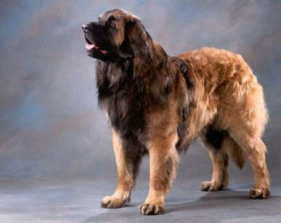 Leonberger Photo: AKC