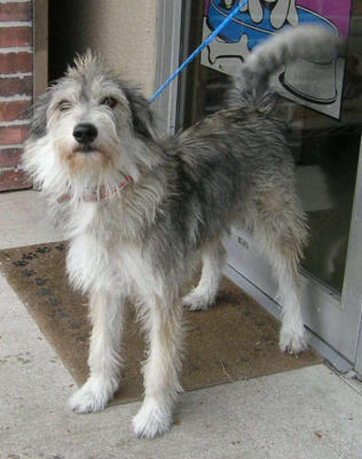 Tina, a 1.5 year old Border Terrier mix