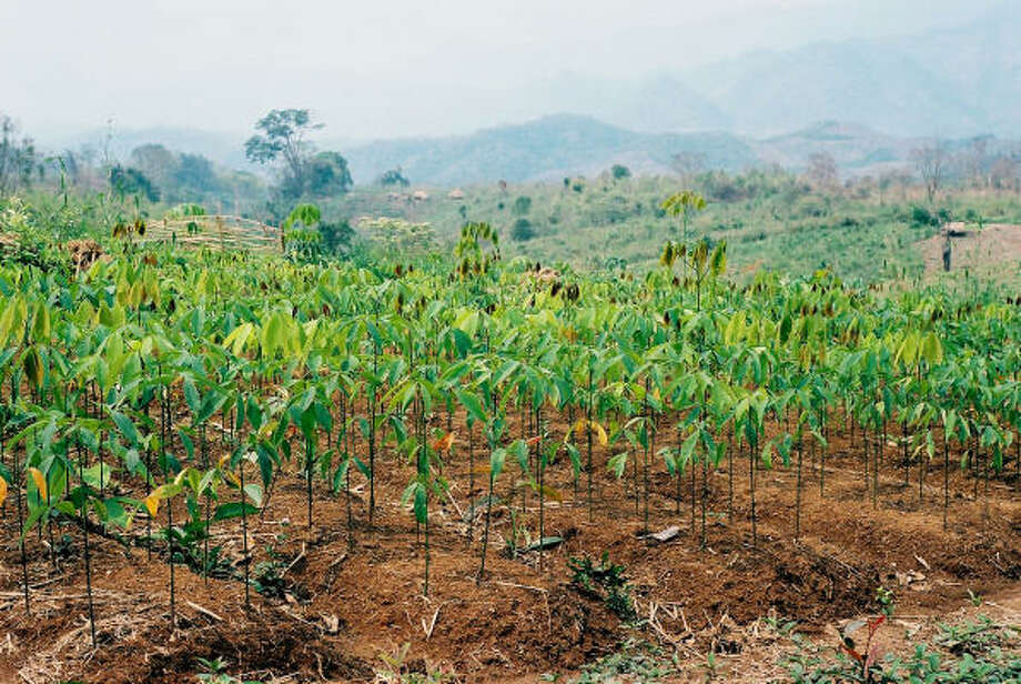 In 1927, Henry Ford invested $125,000 in a rubber tree farm, such as this one in Laos. The farm ran into trouble at every turn, including unreliable labor and poor farming techniques. Photo: ELLEN CHIU :, BLOOMBERG NEWS