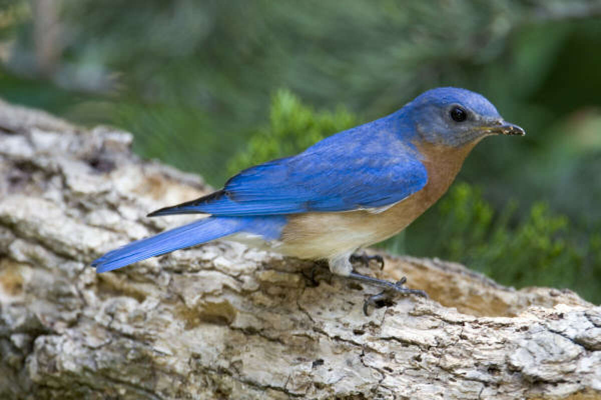 The Eastern bluebird's color is a reminder of the blue on the American flag. It's a fitting bird for the Fourth.