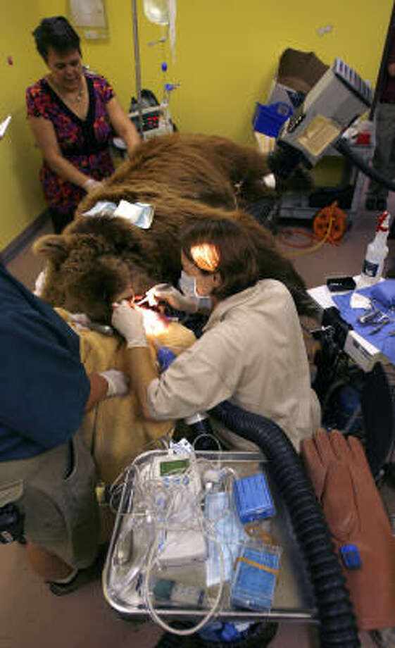 Dr. Maryanne Tocidlowski, left, and Dr. Lauren Howard, vets with the Houston Zoo, work on extracting a tooth from Betsy the Bear, at the Houston SPCA on Wednesday as Dr. Teri Schweiss, vice president of Animal Welfare for the SPCA, works to comb out Betsy's hair. Photo: Karen Warren, Chronicle