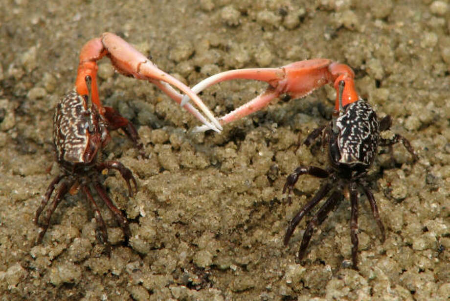 Two male fiddler crabs fight on a beach on Inhaca Island, Mozambique. Not pictured: the female who set this off. Photo: Tanya Detto, AP