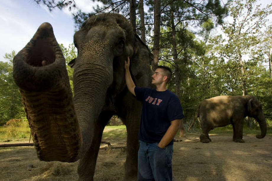Will Davenport, 24, with Jewel, a 44-year-old Asian elephant and Boo, 54, back. Photo: Johnny Hanson, Chronicle