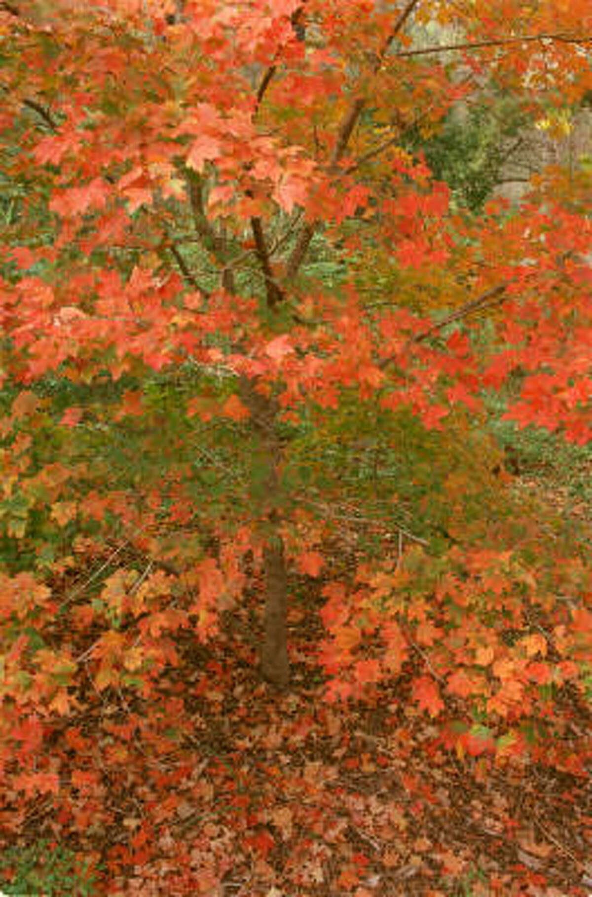 In fall, the chalk maple tree delights visitors to the Houston Arboretum.