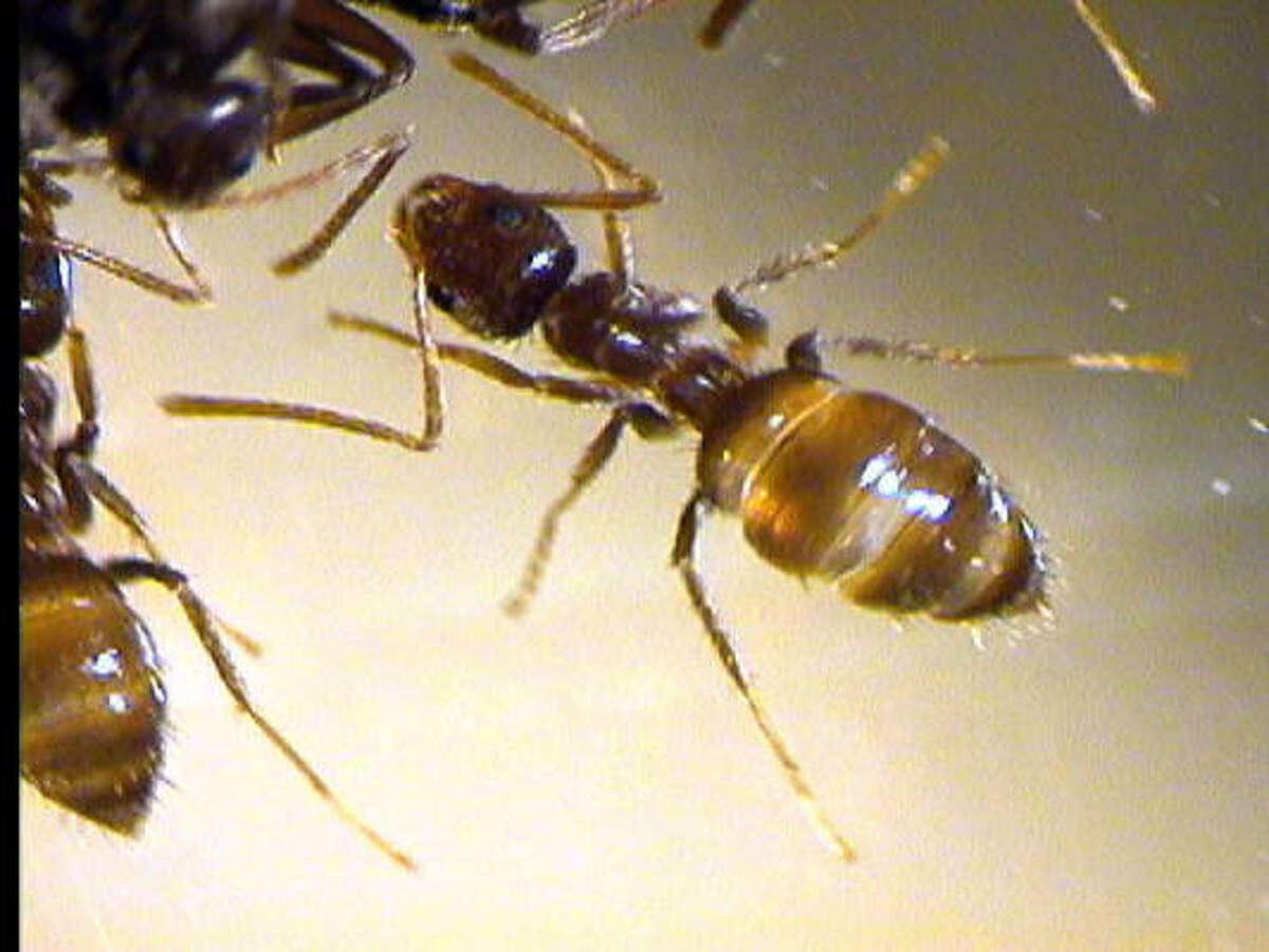 Rasberry crazy ant