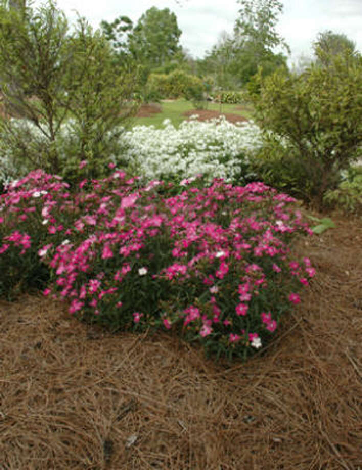 Pine straw mulch frames First Love dianthus and Forest Frost phlox. Photo: Heidi Sheesley, Treesearch Farms
