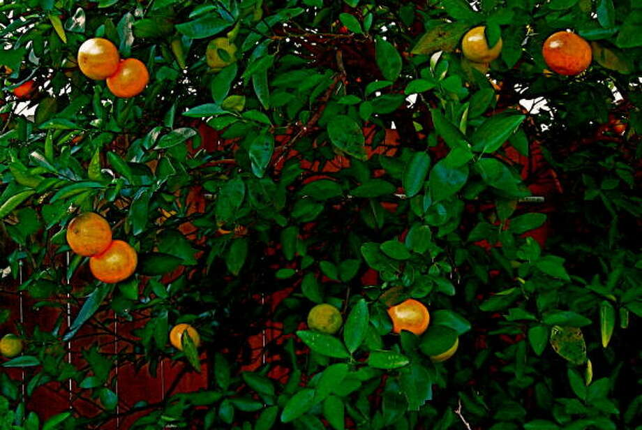 Honey mandarins are delicious additions to the early November food supply. Photo: Year Round Gardening